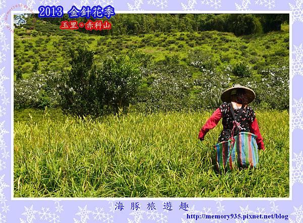 2013赤科山金針季033