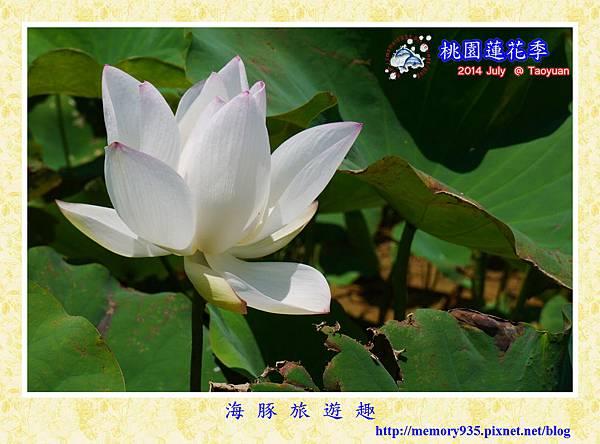 2014桃園蓮花季 (1)