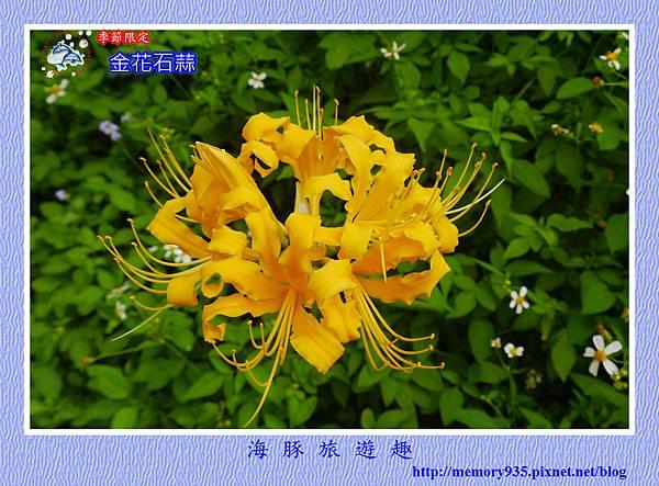 金花石蒜 (1)