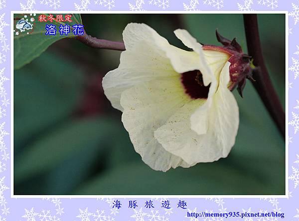 洛神花 (1)