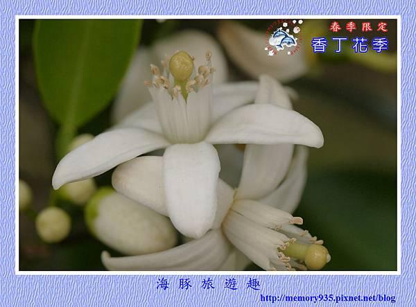 2015台東。香丁花季 (2)