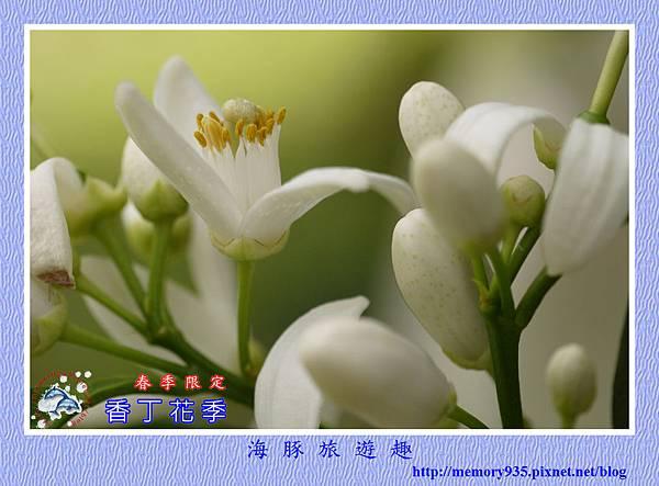 2015台東。香丁花季 (3)