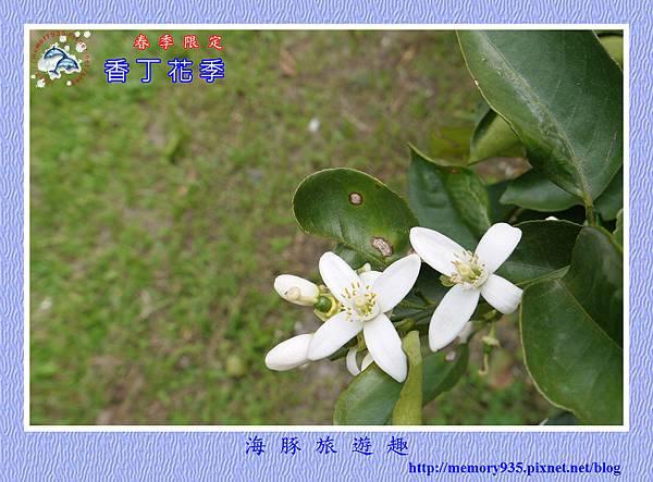 2015台東。香丁花季 (5)