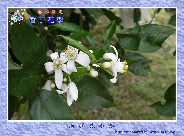 2015台東。香丁花季 (6)