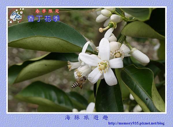 2015台東。香丁花季 (7)