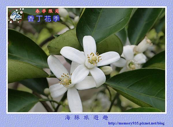 2015台東。香丁花季 (8)