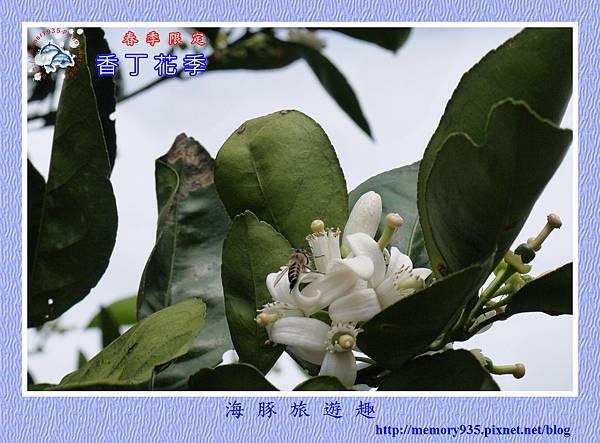 2015台東。香丁花季 (9)