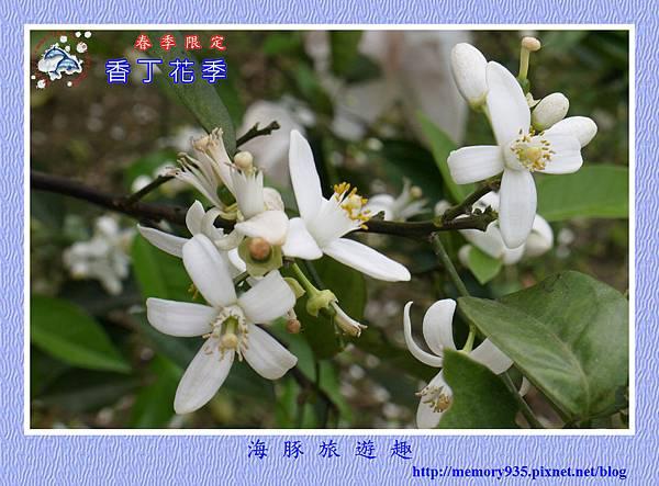 2015台東。香丁花季 (10)