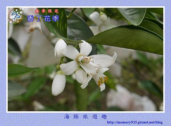 2015台東。香丁花季 (11)