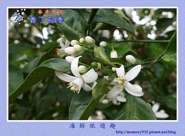 2015台東。香丁花季 (12)