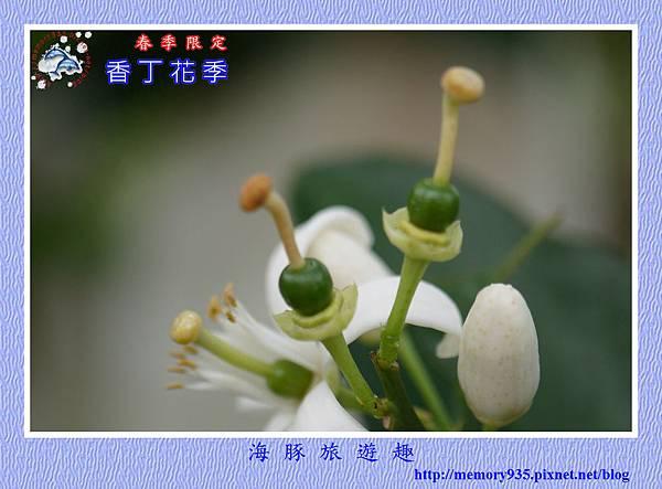 2015台東。香丁花季 (14)