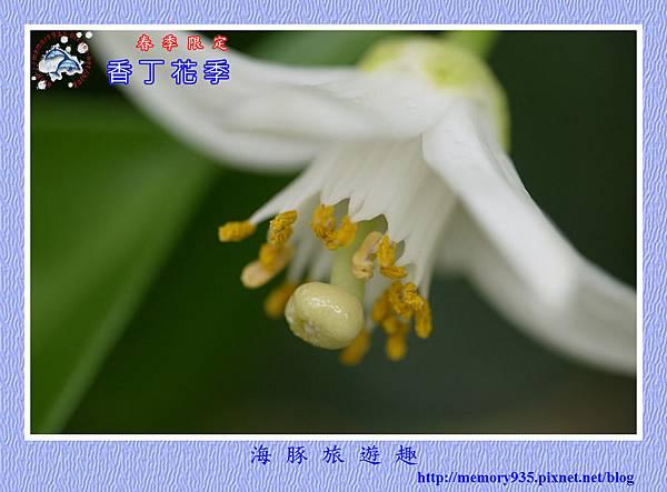 2015台東。香丁花季 (15)