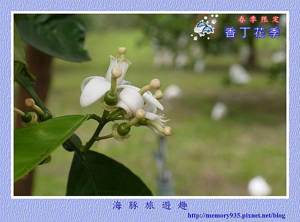 2015台東。香丁花季 (17)