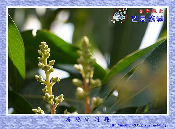 芒果花 (2)