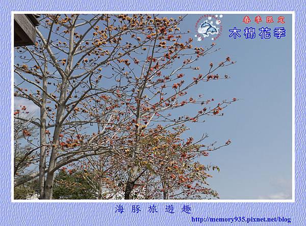 木棉花 (1)