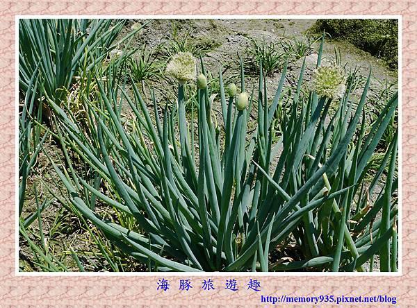 蔥花 (1)