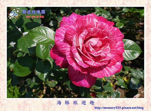 台北。新生玫瑰園 (12)玫瑰-日出