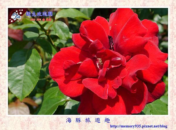 台北。新生玫瑰園 (13)玫瑰-日本武士
