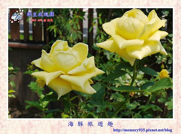 台北。新生玫瑰園 (15)玫瑰-日光