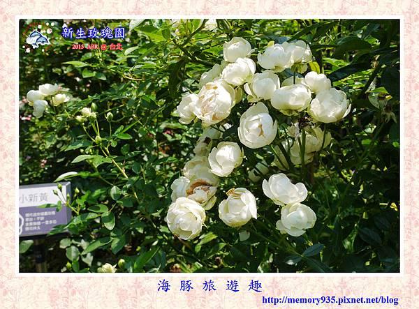 台北。新生玫瑰園 (16)玫瑰-白露斯塔