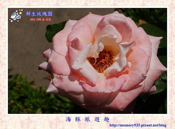 台北。新生玫瑰園 (17)玫瑰-伊莉莎白女王
