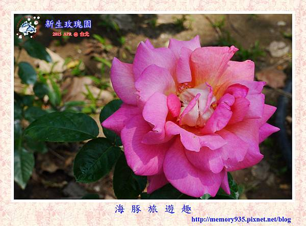 台北。新生玫瑰園 (19)玫瑰-奇摩