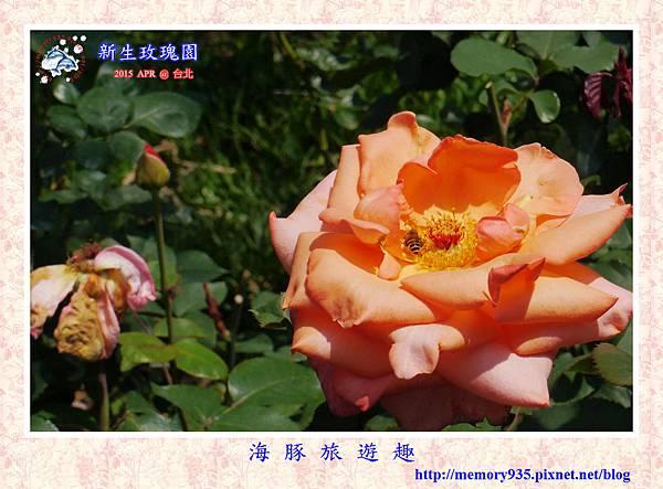 台北。新生玫瑰園 (20)玫瑰-花音