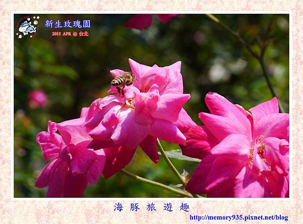 台北。新生玫瑰園 (21)玫瑰-約翰班傑明