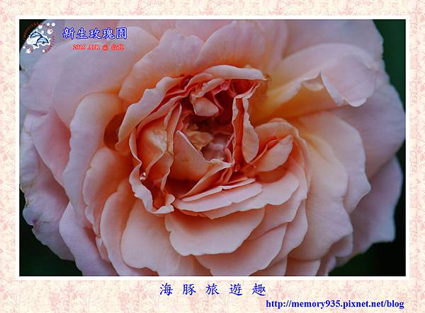 台北。新生玫瑰園 (22)玫瑰-泰摩拉