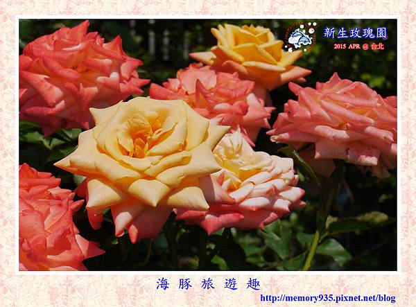 台北。新生玫瑰園 (23)玫瑰-索羅娜
