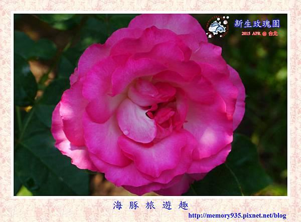 台北。新生玫瑰園 (24)玫瑰-草莓冰