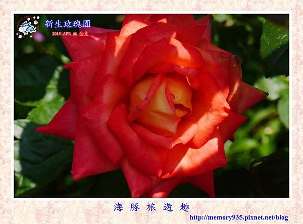台北。新生玫瑰園 (25)玫瑰-彩雲