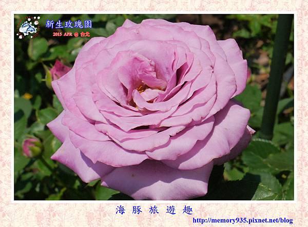 台北。新生玫瑰園 (26)玫瑰-紫星