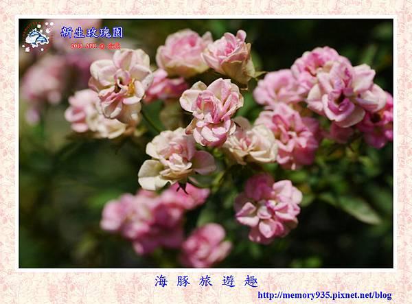 台北。新生玫瑰園 (27)玫瑰-紫薰衣