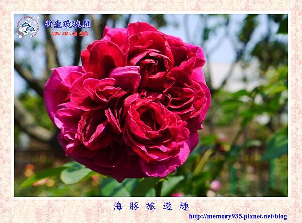 台北。新生玫瑰園 (28)玫瑰-愛與和平