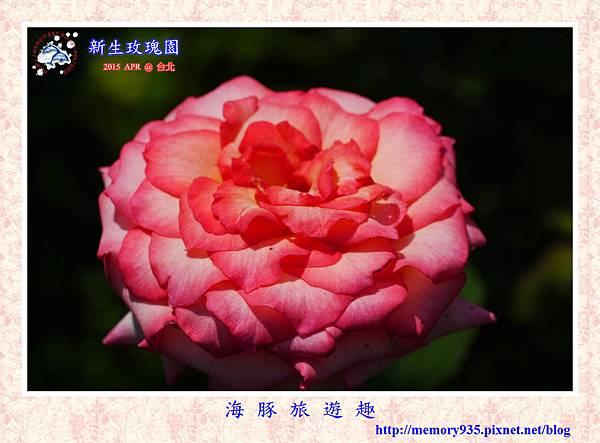 台北。新生玫瑰園 (29)玫瑰-新麗娜