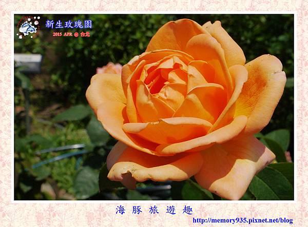 台北。新生玫瑰園 (30)玫瑰-夢