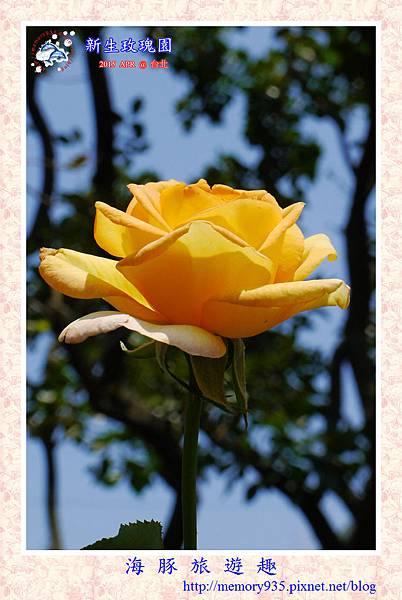台北。新生玫瑰園 (31)玫瑰-瑪麗蓮夢露