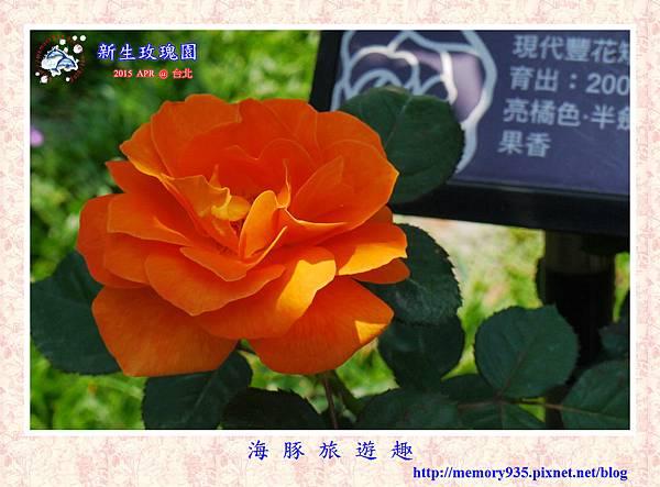 台北。新生玫瑰園 (32)玫瑰-橘子汁
