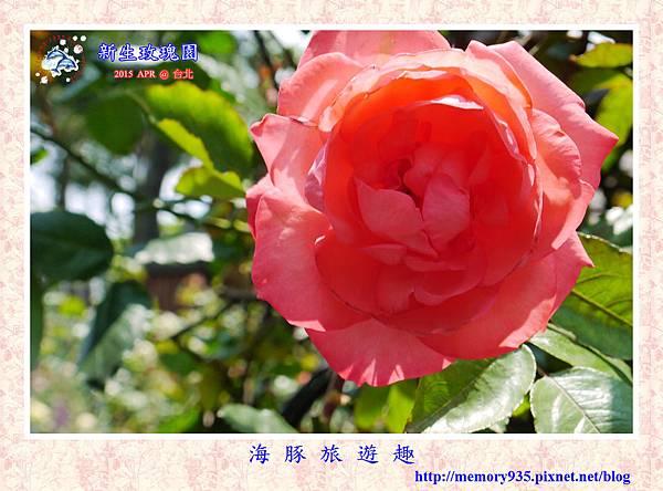 台北。新生玫瑰園 (33)玫瑰-頑皮豹
