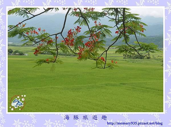 夏。鳳凰木 (3).jpg