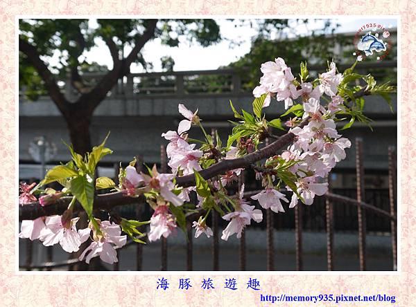 春櫻。台北自來水廠 (11).jpg