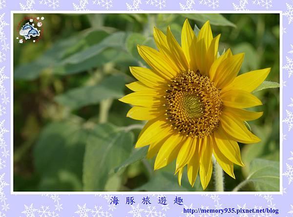 夏。向日葵 (9).jpg