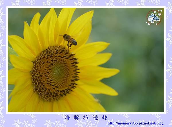 夏。向日葵 (10).jpg