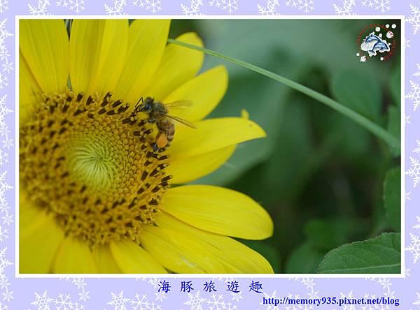 夏。向日葵 (13).jpg