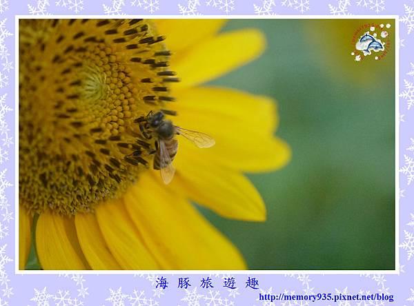 夏。向日葵 (15).jpg