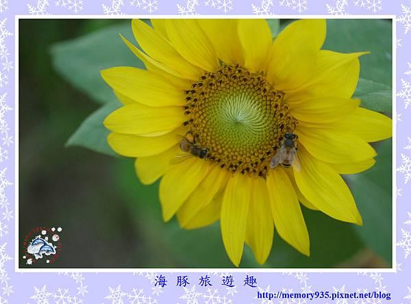夏。向日葵 (17).jpg