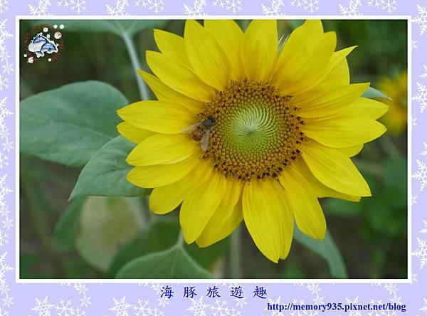 夏。向日葵 (20).jpg