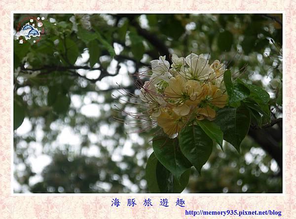 台北。加羅林魚木 (1).jpg
