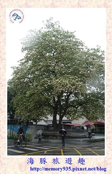 台北。加羅林魚木 (2).jpg